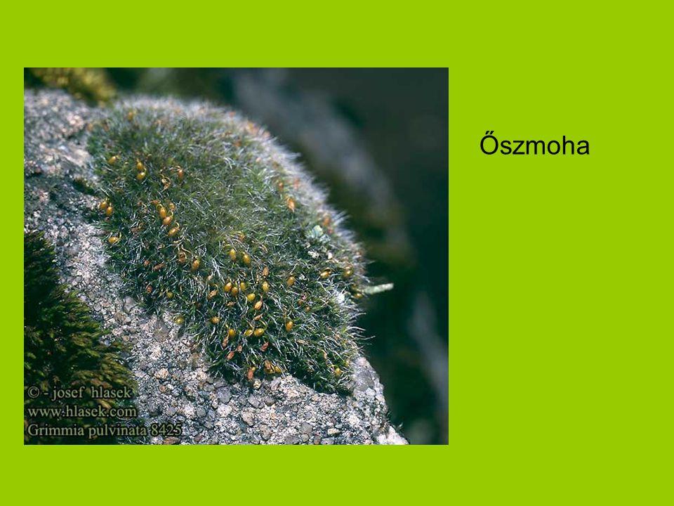 Ciprusmoha