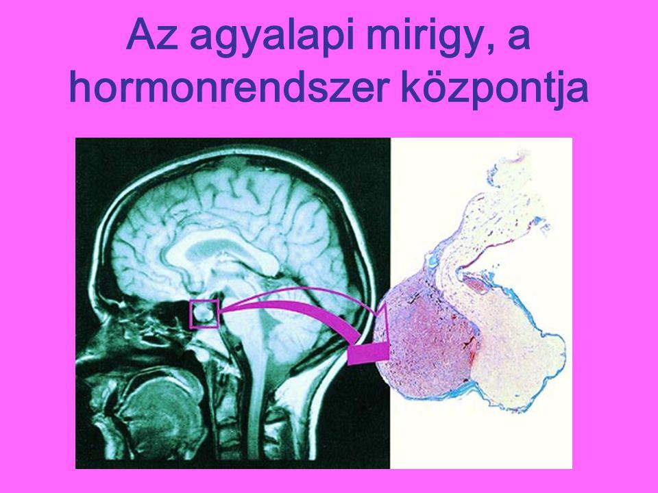 Az agyalapi mirigy, a hormonrendszer központja