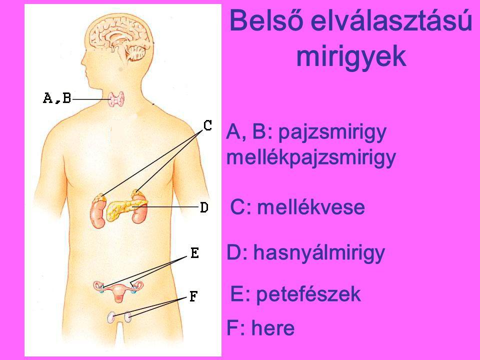 Belső elválasztású mirigyek A, B: pajzsmirigy mellékpajzsmirigy C: mellékvese D: hasnyálmirigy E: petefészek F: here