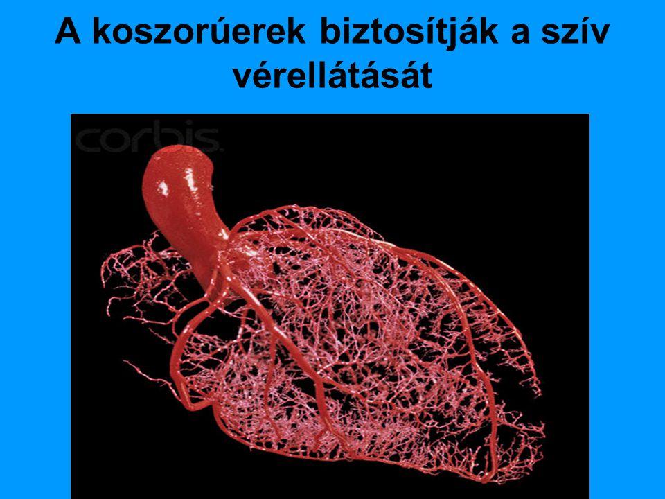 A koszorúerek biztosítják a szív vérellátását