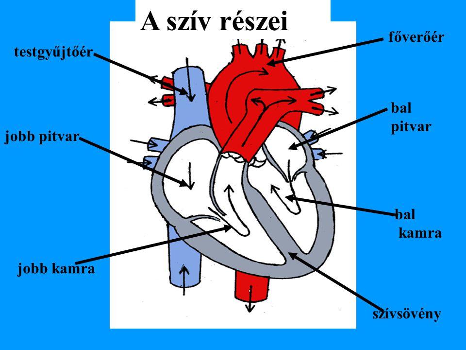 jobb kamra szívsövény bal kamra bal pitvar jobb pitvar testgyűjtőér főverőér A szív részei