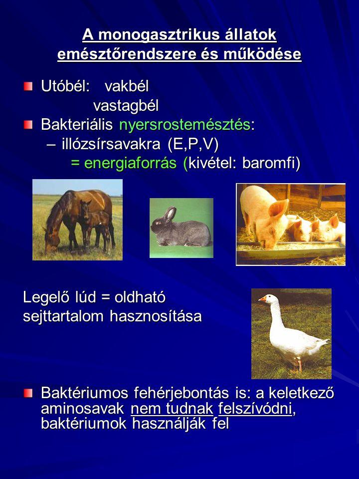 A monogasztrikus állatok emésztőrendszere és működése Utóbél: vakbél vastagbél vastagbél Bakteriális nyersrostemésztés: –illózsírsavakra (E,P,V) = ene