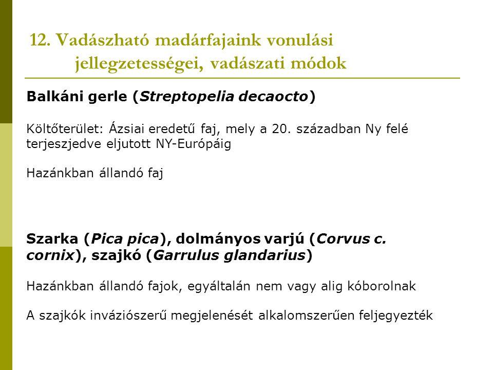12. Vadászható madárfajaink vonulási jellegzetességei, vadászati módok Balkáni gerle (Streptopelia decaocto) Költőterület: Ázsiai eredetű faj, mely a