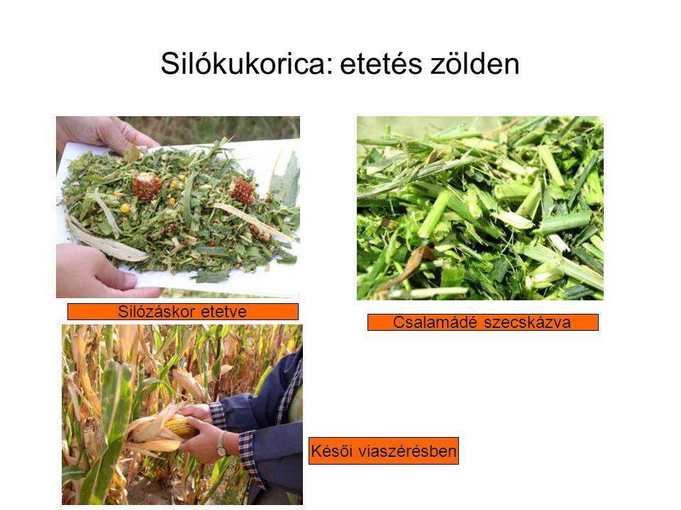 Silókukorica: etetés zölden Csalamádé szecskázva Silózáskor etetve Késői viaszérésben
