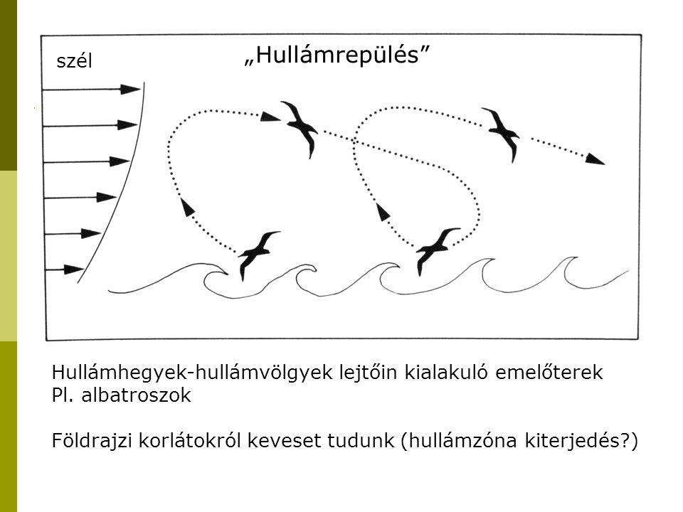 """Morfológiai adottságok, repülési módok és hatásuk a vonulási minázatra """"Hullámrepülés"""" szél Hullámhegyek-hullámvölgyek lejtőin kialakuló emelőterek Pl"""