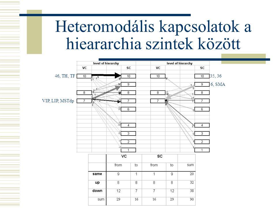 Heteromodális kapcsolatok a hieararchia szintek között VIP, LIP, MSTdp 46, TH, TF 6, SMA 35, 36
