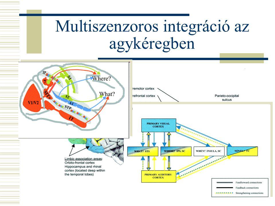 Multiszenzoros integráció az agykéregben