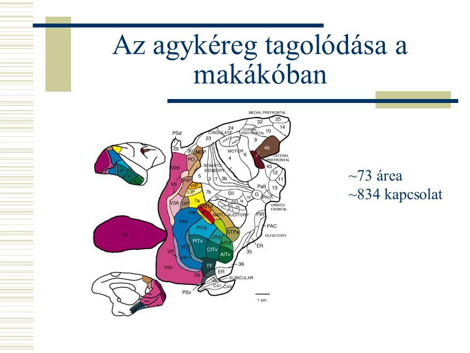 Az agykéreg tagolódása a makákóban ~73 área ~834 kapcsolat