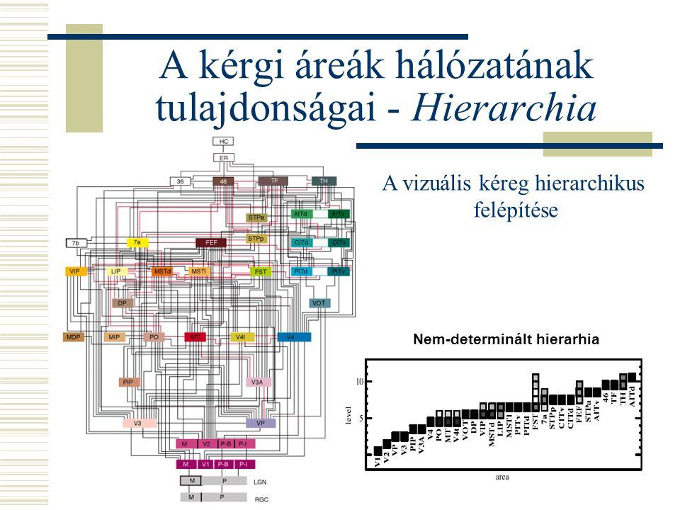 A kérgi áreák hálózatának tulajdonságai - Hierarchia Nem-determinált hierarhia A vizuális kéreg hierarchikus felépítése