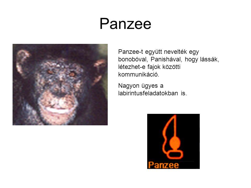 Panzee Panzee-t együtt nevelték egy bonobóval, Panishával, hogy lássák, létezhet-e fajok közötti kommunikáció. Nagyon ügyes a labirintusfeladatokban i