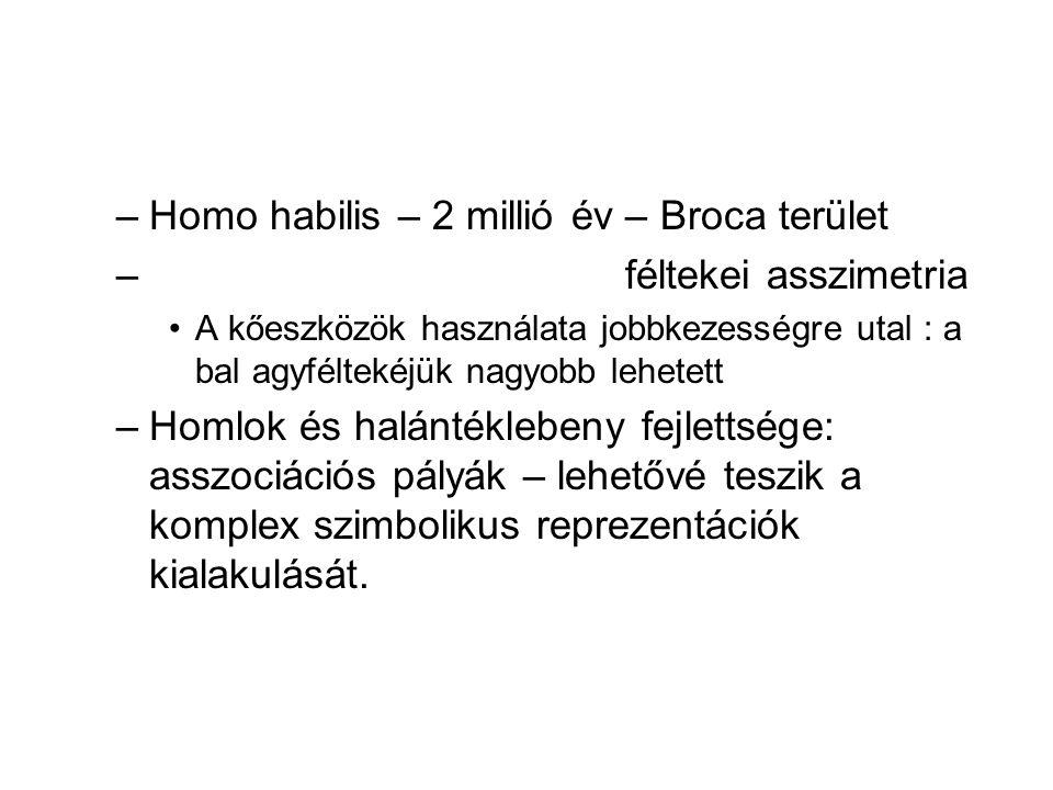 –Homo habilis – 2 millió év – Broca terület – féltekei asszimetria A kőeszközök használata jobbkezességre utal : a bal agyféltekéjük nagyobb lehetett –Homlok és halántéklebeny fejlettsége: asszociációs pályák – lehetővé teszik a komplex szimbolikus reprezentációk kialakulását.
