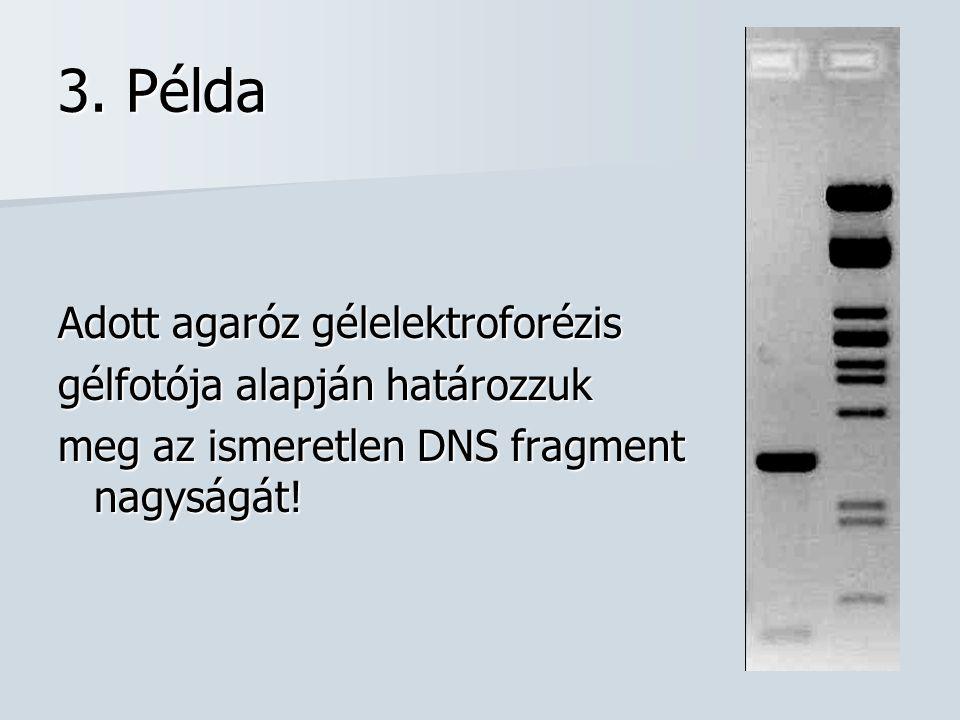 3. Példa Adott agaróz gélelektroforézis gélfotója alapján határozzuk meg az ismeretlen DNS fragment nagyságát!