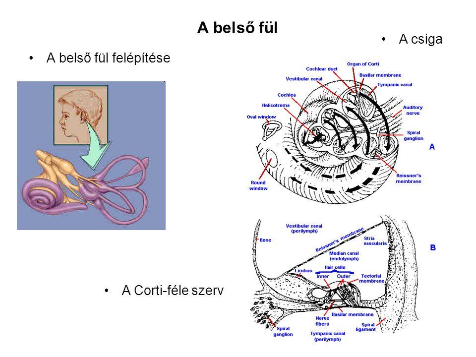 A belső fül A belső fül felépítése A Corti-féle szerv A csiga