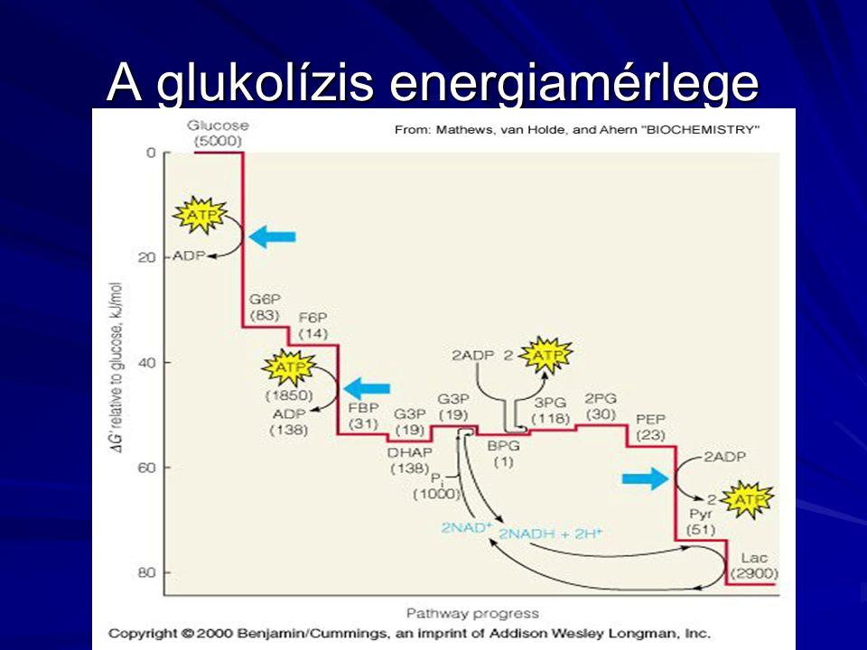 A glukolízis energiamérlege
