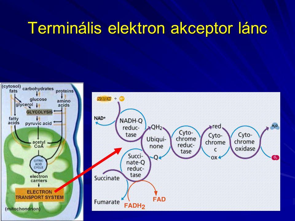 Terminális elektron akceptor lánc