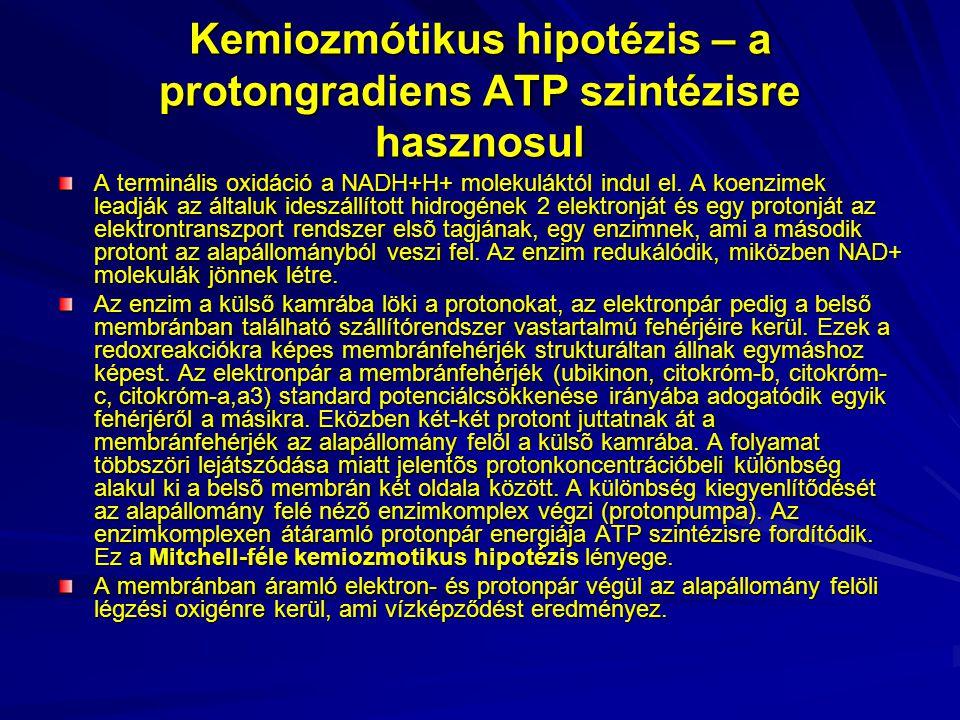 Kemiozmótikus hipotézis – a protongradiens ATP szintézisre hasznosul A terminális oxidáció a NADH+H+ molekuláktól indul el. A koenzimek leadják az ált