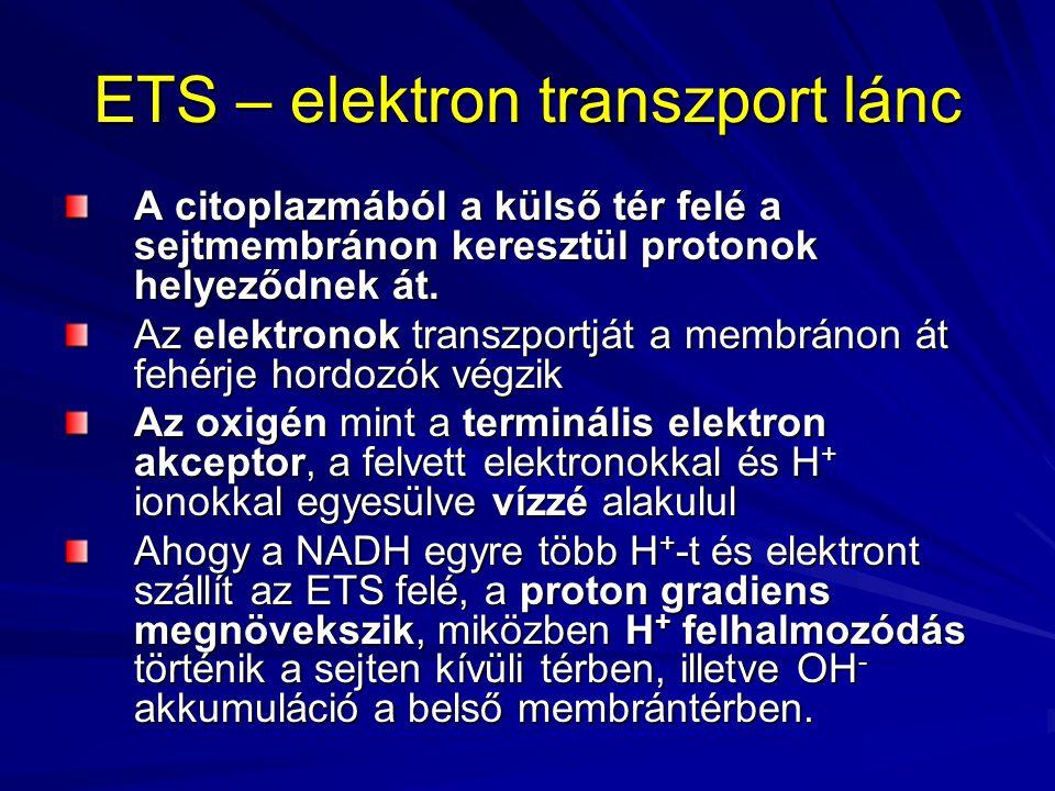 ETS – elektron transzport lánc A citoplazmából a külső tér felé a sejtmembránon keresztül protonok helyeződnek át. Az elektronok transzportját a membr