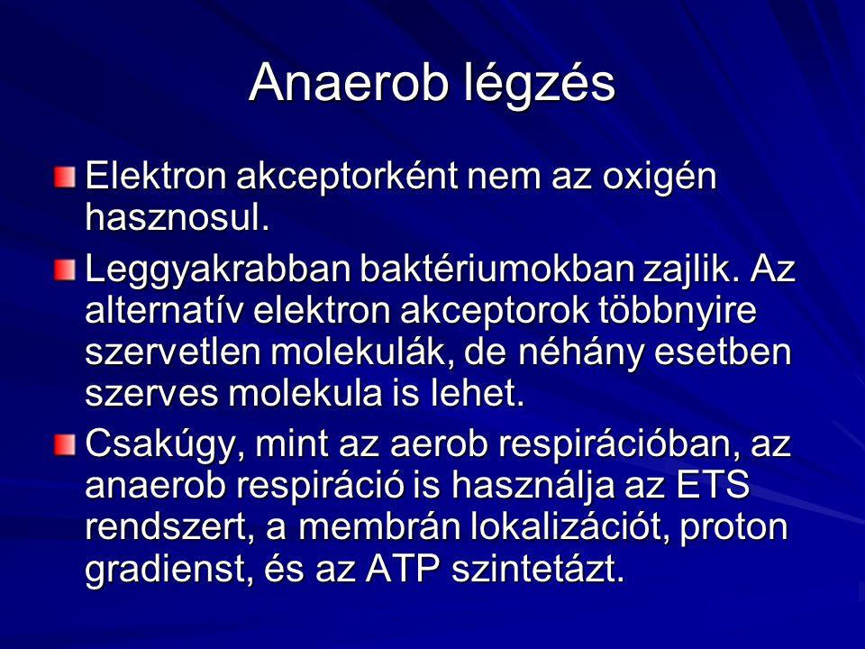 Anaerob légzés Elektron akceptorként nem az oxigén hasznosul. Leggyakrabban baktériumokban zajlik. Az alternatív elektron akceptorok többnyire szervet