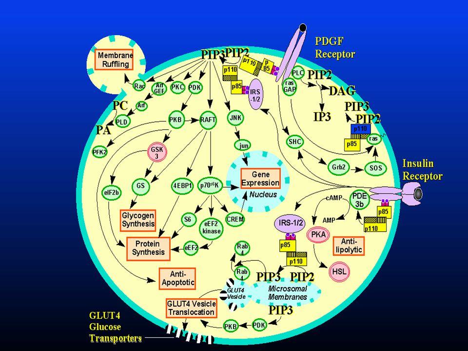inzulin A GLUT 4 szerkezete