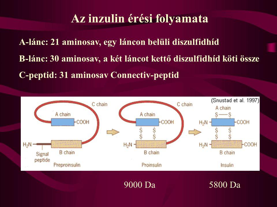 A vércukorszint szabályozása Normálérték: 4,5-5,5 mM Döntő szerep két pancreas hormoné: Glukagon: 29 aminosavból áll, a pancreas  -sejtjei termelik I