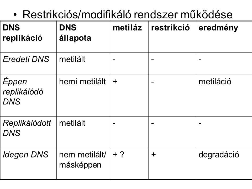 Restrikciós/modifikáló rendszer működése DNS replikáció DNS állapota metilázrestrikcióeredmény Eredeti DNSmetilált--- Éppen replikálódó DNS hemi metilált+-metiláció Replikálódott DNS metilált--- Idegen DNSnem metilált/ másképpen + ?+degradáció