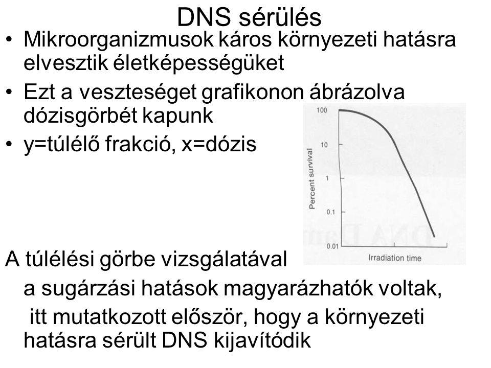 DNS sérülés Mikroorganizmusok káros környezeti hatásra elvesztik életképességüket Ezt a veszteséget grafikonon ábrázolva dózisgörbét kapunk y=túlélő frakció, x=dózis A túlélési görbe vizsgálatával a sugárzási hatások magyarázhatók voltak, itt mutatkozott először, hogy a környezeti hatásra sérült DNS kijavítódik