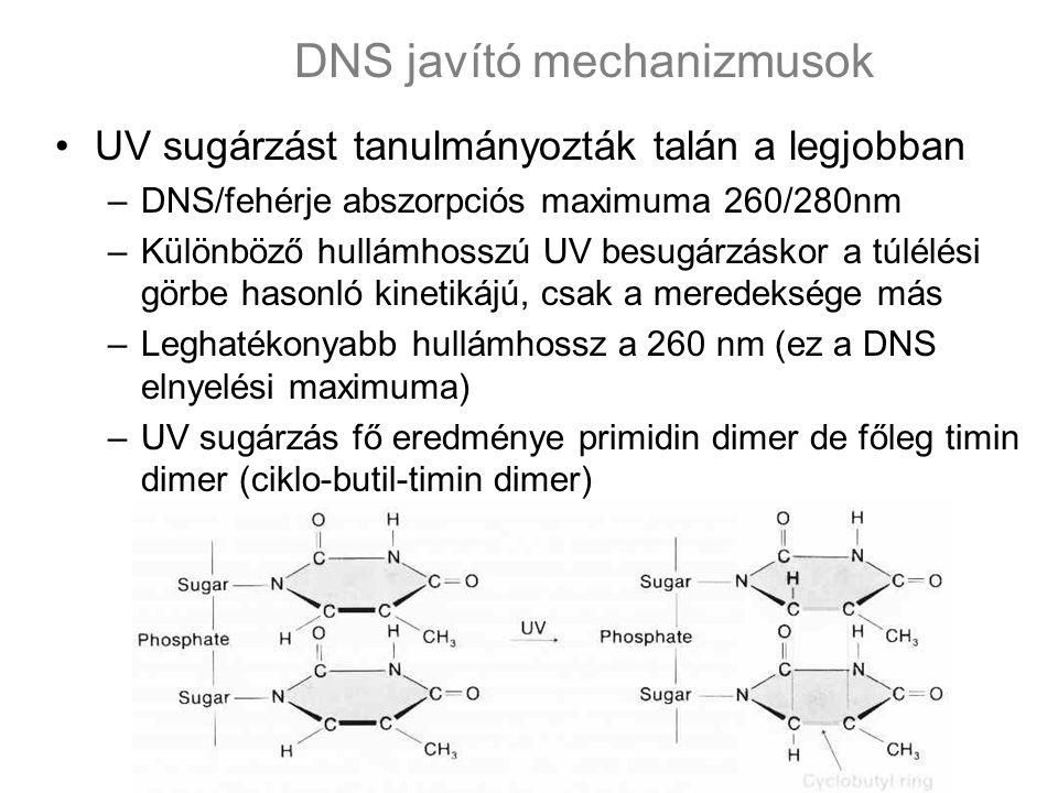 UV sugárzást tanulmányozták talán a legjobban –DNS/fehérje abszorpciós maximuma 260/280nm –Különböző hullámhosszú UV besugárzáskor a túlélési görbe hasonló kinetikájú, csak a meredeksége más –Leghatékonyabb hullámhossz a 260 nm (ez a DNS elnyelési maximuma) –UV sugárzás fő eredménye primidin dimer de főleg timin dimer (ciklo-butil-timin dimer) DNS javító mechanizmusok