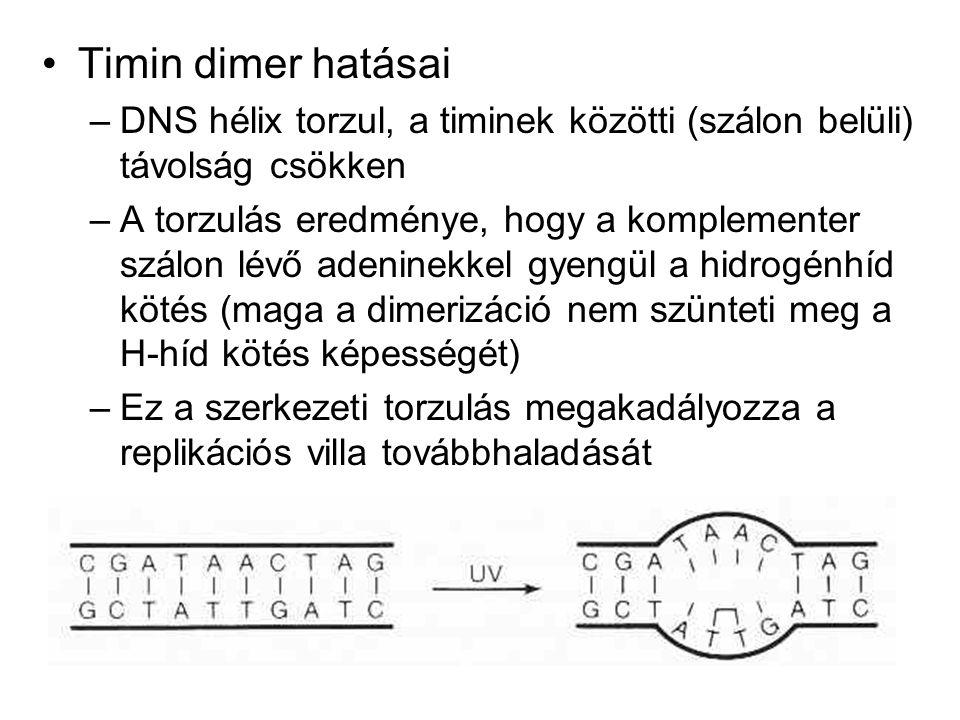 Timin dimer hatásai –DNS hélix torzul, a timinek közötti (szálon belüli) távolság csökken –A torzulás eredménye, hogy a komplementer szálon lévő adeninekkel gyengül a hidrogénhíd kötés (maga a dimerizáció nem szünteti meg a H-híd kötés képességét) –Ez a szerkezeti torzulás megakadályozza a replikációs villa továbbhaladását