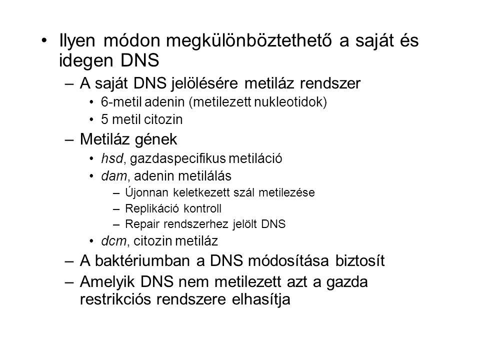 Ilyen módon megkülönböztethető a saját és idegen DNS –A saját DNS jelölésére metiláz rendszer 6-metil adenin (metilezett nukleotidok) 5 metil citozin –Metiláz gének hsd, gazdaspecifikus metiláció dam, adenin metilálás –Újonnan keletkezett szál metilezése –Replikáció kontroll –Repair rendszerhez jelölt DNS dcm, citozin metiláz –A baktériumban a DNS módosítása biztosít –Amelyik DNS nem metilezett azt a gazda restrikciós rendszere elhasítja