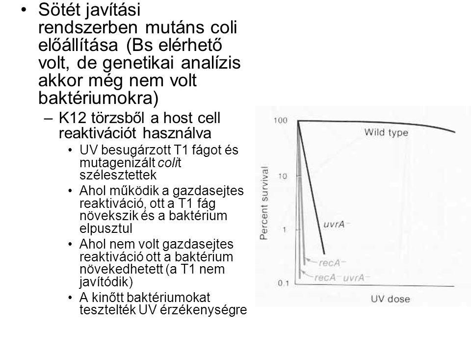 Sötét javítási rendszerben mutáns coli előállítása (Bs elérhető volt, de genetikai analízis akkor még nem volt baktériumokra) –K12 törzsből a host cell reaktivációt használva UV besugárzott T1 fágot és mutagenizált colit szélesztettek Ahol működik a gazdasejtes reaktiváció, ott a T1 fág növekszik és a baktérium elpusztul Ahol nem volt gazdasejtes reaktiváció ott a baktérium növekedhetett (a T1 nem javítódik) A kinőtt baktériumokat tesztelték UV érzékenységre