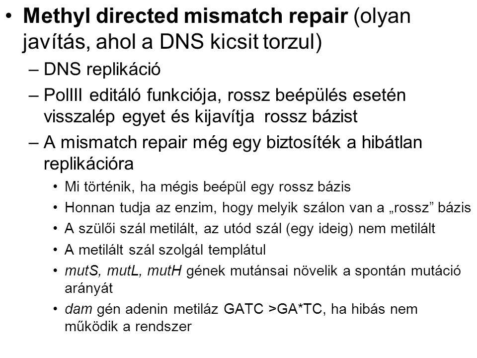 """Methyl directed mismatch repair (olyan javítás, ahol a DNS kicsit torzul) –DNS replikáció –PolIII editáló funkciója, rossz beépülés esetén visszalép egyet és kijavítja rossz bázist –A mismatch repair még egy biztosíték a hibátlan replikációra Mi történik, ha mégis beépül egy rossz bázis Honnan tudja az enzim, hogy melyik szálon van a """"rossz bázis A szülői szál metilált, az utód szál (egy ideig) nem metilált A metilált szál szolgál templátul mutS, mutL, mutH gének mutánsai növelik a spontán mutáció arányát dam gén adenin metiláz GATC >GA*TC, ha hibás nem működik a rendszer"""