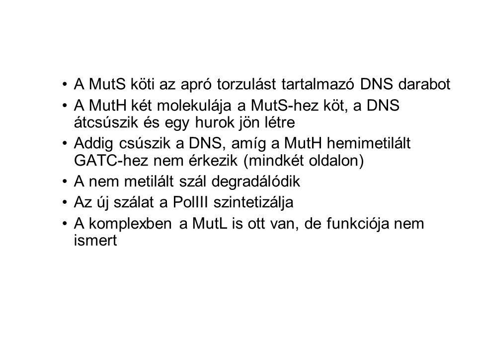 A MutS köti az apró torzulást tartalmazó DNS darabot A MutH két molekulája a MutS-hez köt, a DNS átcsúszik és egy hurok jön létre Addig csúszik a DNS, amíg a MutH hemimetilált GATC-hez nem érkezik (mindkét oldalon) A nem metilált szál degradálódik Az új szálat a PolIII szintetizálja A komplexben a MutL is ott van, de funkciója nem ismert
