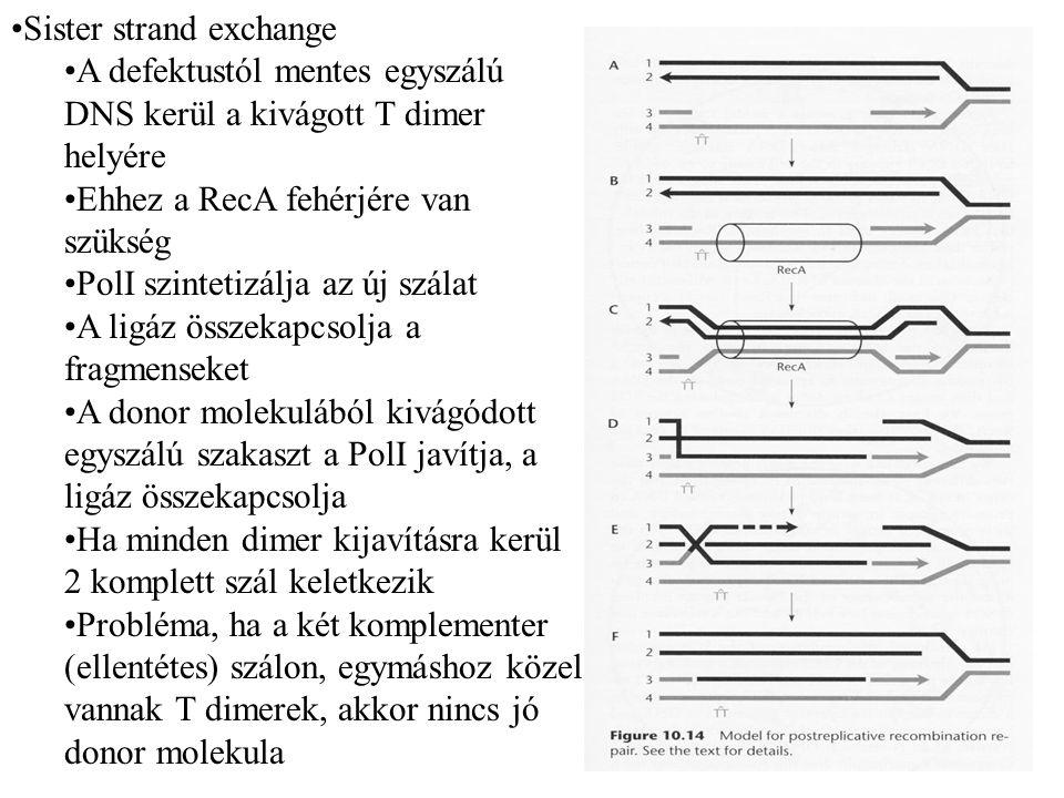 Sister strand exchange A defektustól mentes egyszálú DNS kerül a kivágott T dimer helyére Ehhez a RecA fehérjére van szükség PolI szintetizálja az új szálat A ligáz összekapcsolja a fragmenseket A donor molekulából kivágódott egyszálú szakaszt a PolI javítja, a ligáz összekapcsolja Ha minden dimer kijavításra kerül 2 komplett szál keletkezik Probléma, ha a két komplementer (ellentétes) szálon, egymáshoz közel vannak T dimerek, akkor nincs jó donor molekula