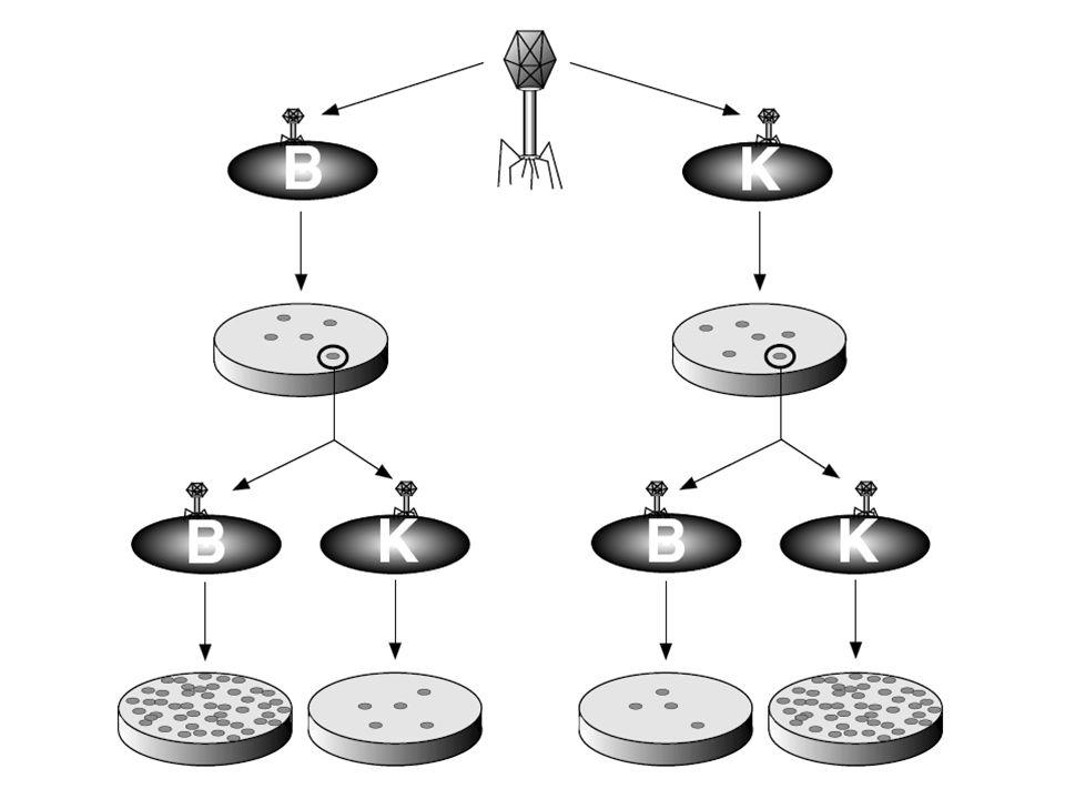 k=cV; k arányos a cél térfogatával A legnagyobb genomú fág a legérzékenyebb (T5) A k értékek aránya megegyezik a DNS molekulasúlyok arányával
