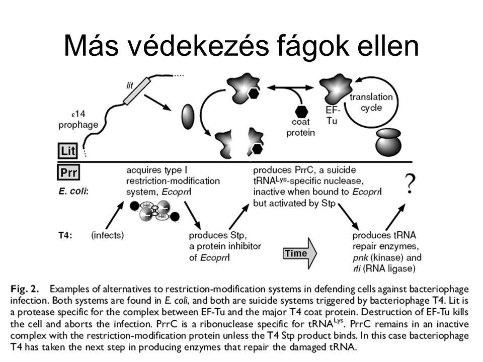 III típusú rendszer –Kevés rendszer ismert (P1 fágé, EcoP1) –A metiláz fehérje egyedül vagy komplexben működik –A restrikciós fehérje csak komplexben működhet –A felismerőhelytől (visszafele) 24-26 bp-ra hasít IV típus (nem igazi besorolás) –A legtöbb rendszerben a restrikciós enzim nem ott hasít, ahol metilált a DNS (azaz a metiláció védettséget ad) –A IV típusnál éppen a metilált DNS hasítódik –HpaII és MspI izoschizomerek, ugyanazt a szekvenciát ismerik fel HpaII akkor hasít, ha a DNS nem metilált MspI akkor hasít, ha a szekvencia metilált