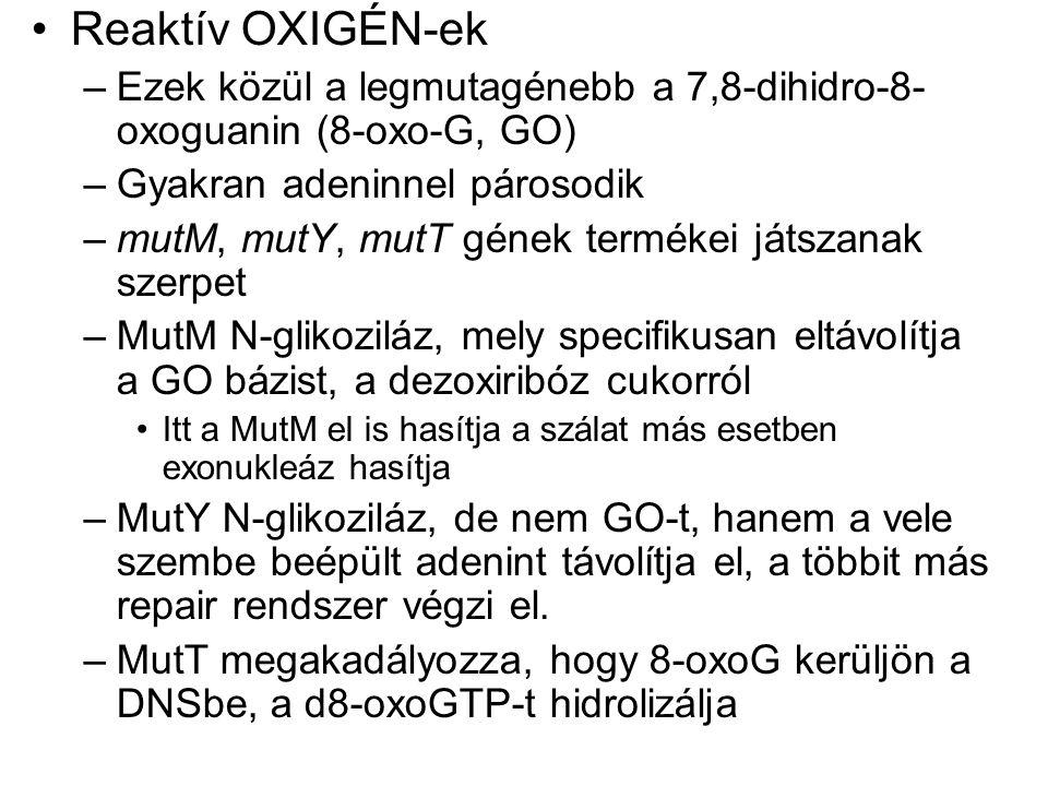 Reaktív OXIGÉN-ek –Ezek közül a legmutagénebb a 7,8-dihidro-8- oxoguanin (8-oxo-G, GO) –Gyakran adeninnel párosodik –mutM, mutY, mutT gének termékei játszanak szerpet –MutM N-glikoziláz, mely specifikusan eltávolítja a GO bázist, a dezoxiribóz cukorról Itt a MutM el is hasítja a szálat más esetben exonukleáz hasítja –MutY N-glikoziláz, de nem GO-t, hanem a vele szembe beépült adenint távolítja el, a többit más repair rendszer végzi el.