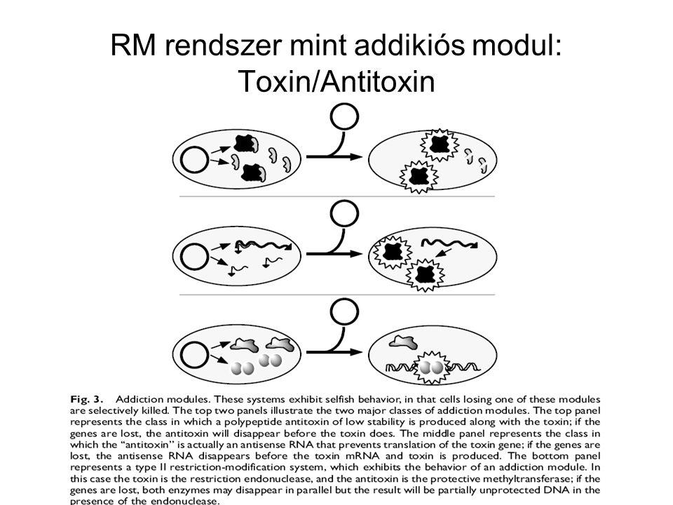 A recA mutáns sejtek különösen érzékenyek az UV fényre A recA-ra szükség van a rekombinációs hatásnál –A rekombinációban mutáns recBC sejtek UV tűrők A recA-nak szerepe van más UV javításban is A recA mutánsokban az UV nem volt mutagén (nagyobb dózisra több sejt pusztult el, de a mutációk száma nem nőtt) A recA-ra szükség van az SOS válaszban –recA mutánsokban nem lehet SOS választ kiváltani –recA mutánsokban nem lehet UV fénnyel lambda fágot indukálni Vizsgálták a lambda cI represszort –UV besugárzás után a cI represszor kettéhasadt recA mutánsban a cI intakt recA proteáz aktivitással rendelkezik –Kimutatták, hogy a RecA fehérje egyszálú DNS és ATP kötése után átalakul proteáz formájúvá RecA*, a RecA* bontja a cI represszort, a profág indukálódik –Később kiderült, hogy a RecA* nem proteáz, hanem csak elősegíti a cI represszor autokatalitikus aktivitását