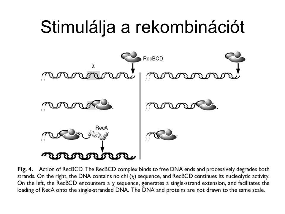 A RecA* fehérje elősegíti az SOS válaszban szereplő más fehérjék autokatalitikus aktivitását A RecA szerepe az SOS válaszban –Direkten gátolja a polIII editáló funkcióját, mert erősen köt a pirimidin dimer által torzított DNS szálhoz A polIII eléri a dimert, amelyhez RecA kapcsolódott A RecA kölcsönhatásba lép a polIII exonukleáz alegységével Gátlódik az editáló funkció A replikációs villa tovább halad (UV hatására a T dimerrel szemben adeninek épülnek be, de a torzulás miatt más is beépülhet A hiba nem editálódik, és a mutáció kialakul