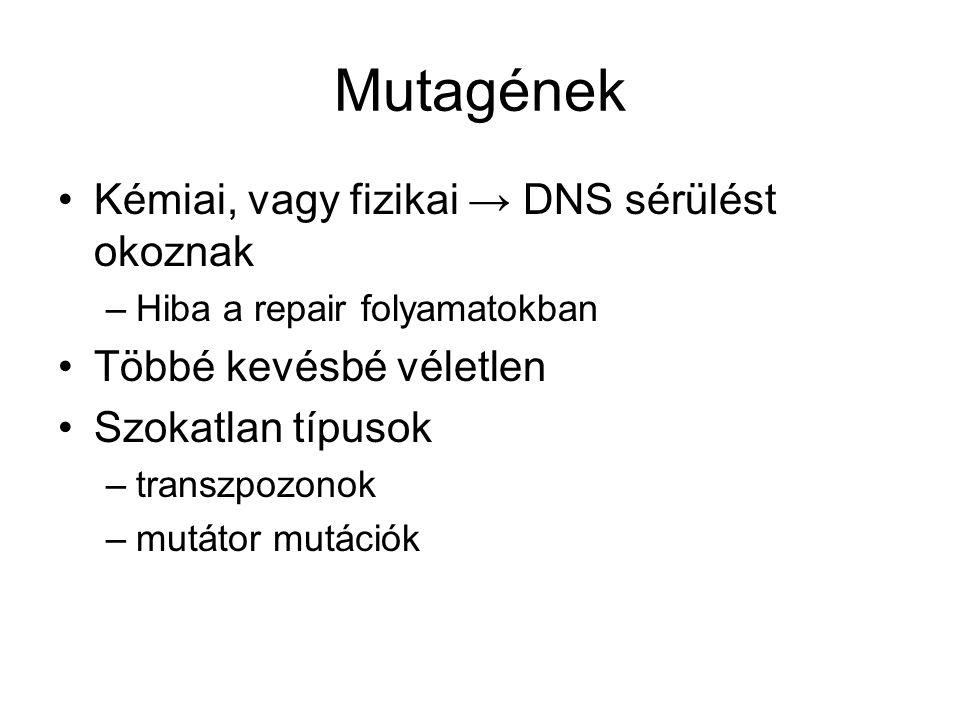 Mutagének Kémiai, vagy fizikai → DNS sérülést okoznak –Hiba a repair folyamatokban Többé kevésbé véletlen Szokatlan típusok –transzpozonok –mutátor mutációk