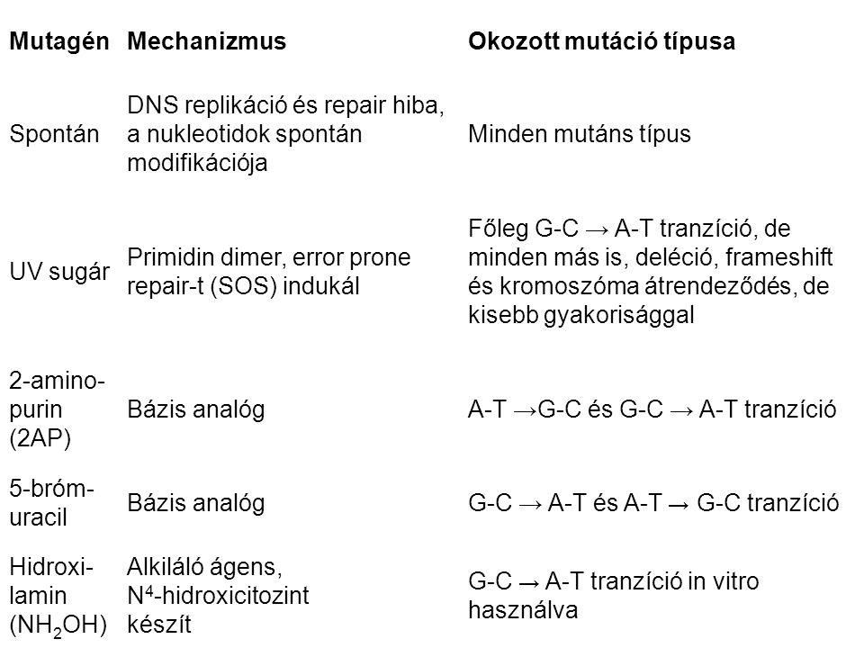 MutagénMechanizmusOkozott mutáció típusa Spontán DNS replikáció és repair hiba, a nukleotidok spontán modifikációja Minden mutáns típus UV sugár Primidin dimer, error prone repair-t (SOS) indukál Főleg G-C → A-T tranzíció, de minden más is, deléció, frameshift és kromoszóma átrendeződés, de kisebb gyakorisággal 2-amino- purin (2AP) Bázis analógA-T →G-C és G-C → A-T tranzíció 5-bróm- uracil Bázis analógG-C → A-T és A-T → G-C tranzíció Hidroxi- lamin (NH 2 OH) Alkiláló ágens, N 4 -hidroxicitozint készít G-C → A-T tranzíció in vitro használva