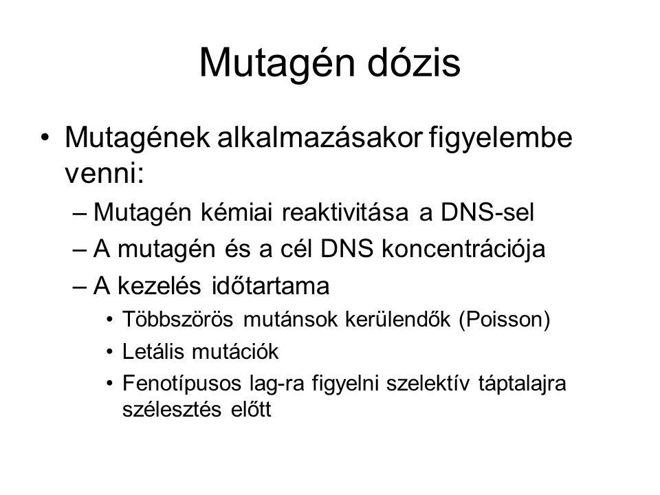 Mutagén dózis Mutagének alkalmazásakor figyelembe venni: –Mutagén kémiai reaktivitása a DNS-sel –A mutagén és a cél DNS koncentrációja –A kezelés időtartama Többszörös mutánsok kerülendők (Poisson) Letális mutációk Fenotípusos lag-ra figyelni szelektív táptalajra szélesztés előtt