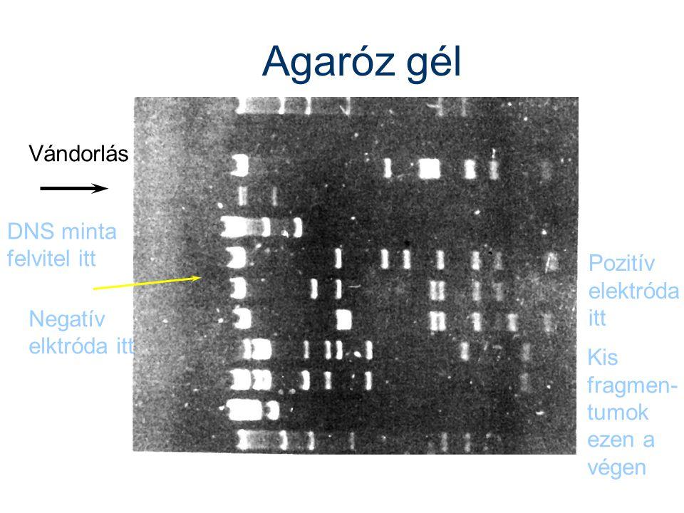 Agaróz gél DNS minta felvitel itt Vándorlás Negatív elktróda itt Pozitív elektróda itt Kis fragmen- tumok ezen a végen