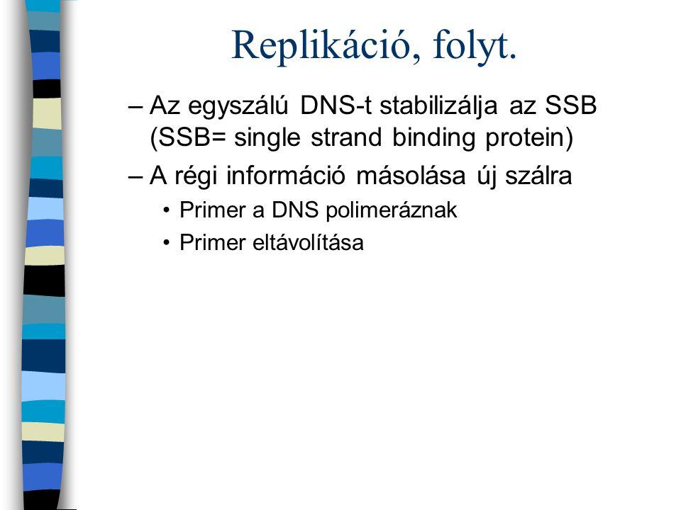 Replikáció, folyt. –Az egyszálú DNS-t stabilizálja az SSB (SSB= single strand binding protein) –A régi információ másolása új szálra Primer a DNS poli