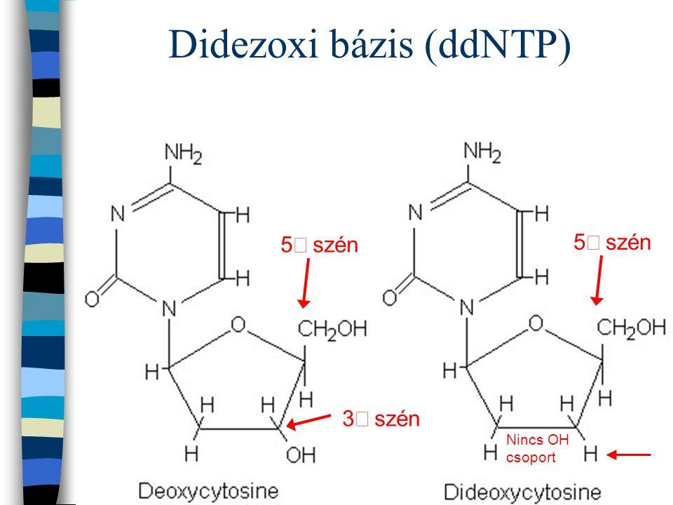Didezoxi bázis (ddNTP) 5 szén 3 szén 5 szén Nincs OH csoport