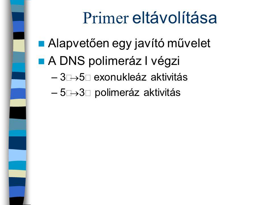 Primer eltávolítása Alapvetően egy javító művelet A DNS polimeráz I végzi –3  5  exonukleáz aktivitás –5  3 polimeráz aktivitás