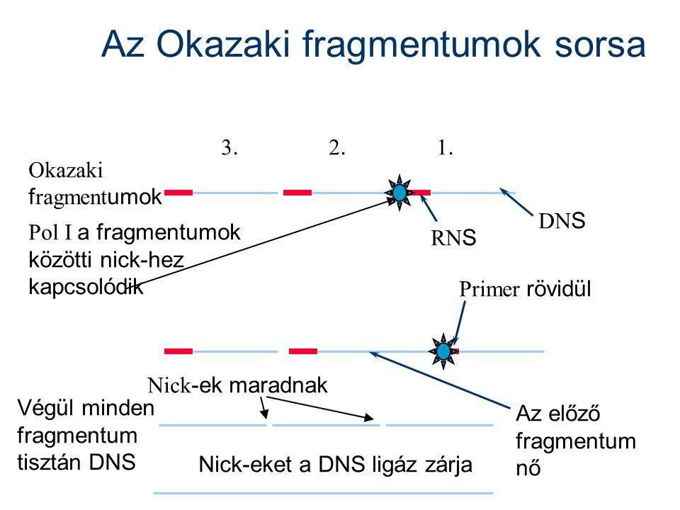 Az Okazaki fragmentumok sorsa Okazaki f ragment umok 1.1. DN S RN S 2.2. 3.3. Az előző fragmentum nő Végül minden fragmentum tisztán DNS Nick-eket a D