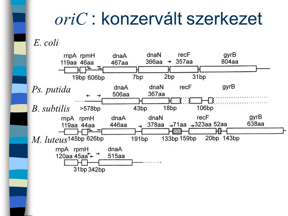 oriC : konzervált szerkezet E. coli B. subtilis M. luteus Ps. putida