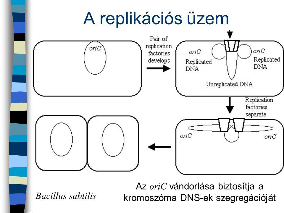 A replikációs üzem Bacillus subtilis Az oriC vándorlása biztosítja a kromoszóma DNS-ek szegregációját