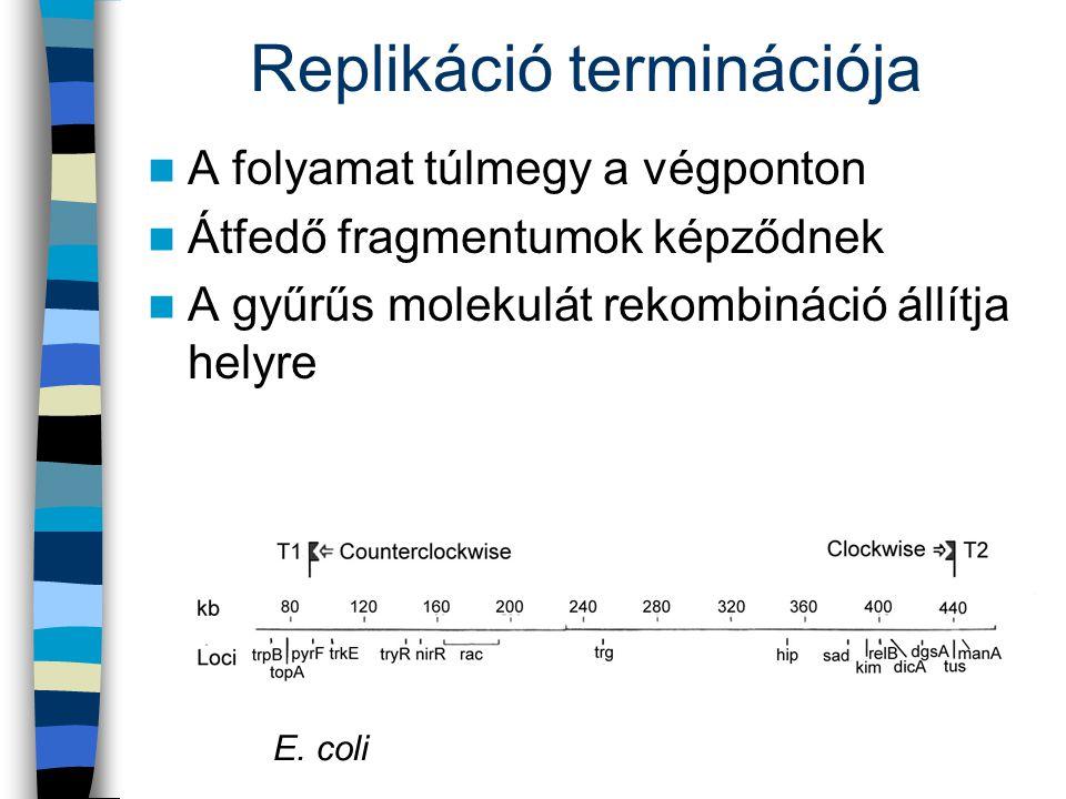 Replikáció terminációja A folyamat túlmegy a végponton Átfedő fragmentumok képződnek A gyűrűs molekulát rekombináció állítja helyre E. coli