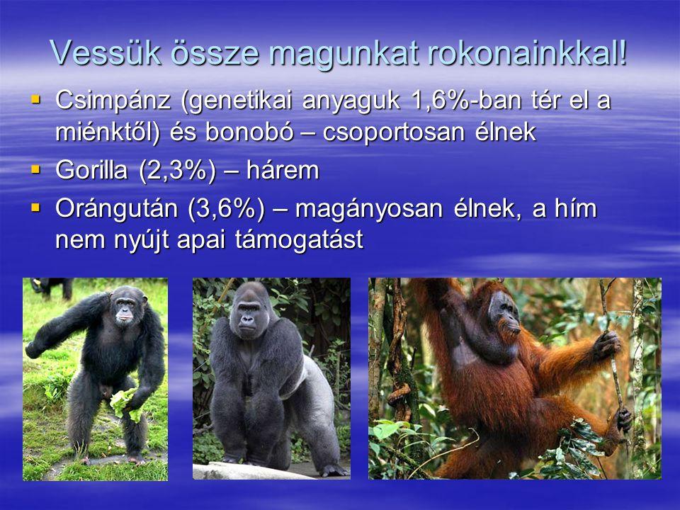 Vessük össze magunkat rokonainkkal!  Csimpánz (genetikai anyaguk 1,6%-ban tér el a miénktől) és bonobó – csoportosan élnek  Gorilla (2,3%) – hárem 
